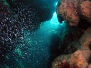 Siversides in cavern in reef at Little San Salvador