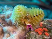 Christmas Tree worm Belize C.A.
