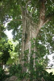 Bannion Tree at Lamini Belize C.A.