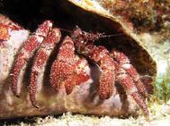 Hermit Crab in Conch Shell BAIII 06