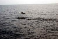 Pod of Pilot Whales off the West coast of Little San Salvador Island Bahamas