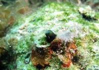 Secretary Blenny in Coral Head