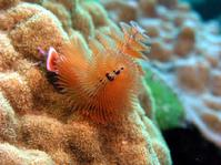Christmas Tree Worm Lobster no Lobster Exumas Bahamas