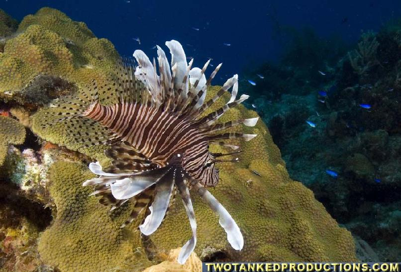 Red Lionfish in the Bahamas